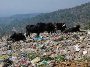 Kossor som äter sopor på stadens soptipp.