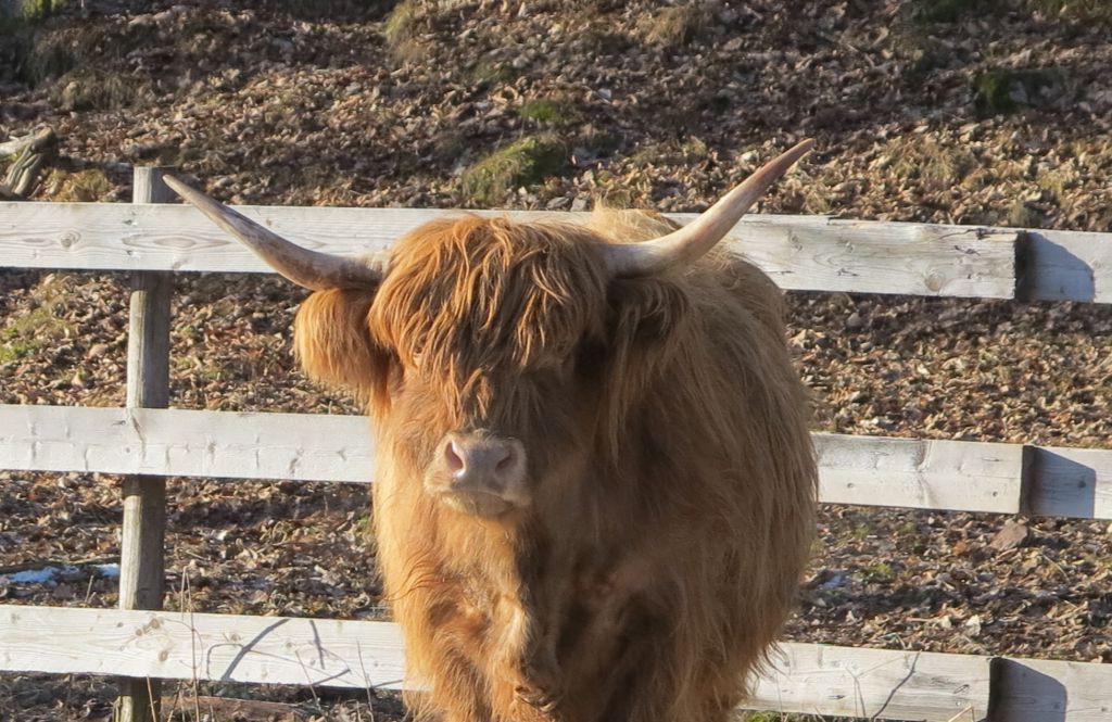 Highland Cattle - potentiell orsak till koskräck.