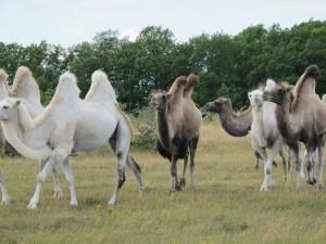 Kameler I Alböke på norra Öland